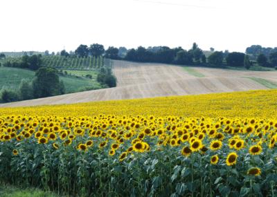 Campo di girasoli Casalecchio Bologna
